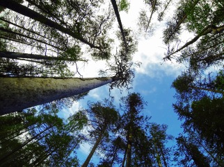 Trees reaching sky